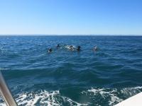 Walhai-Verfolger