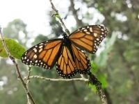 Ein Monarchfalter