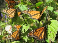 Mehrere Monarchfalter