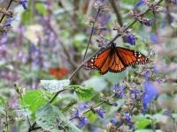 Zwei Monarchfalter