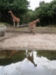 8 Mexikanische Giraffen