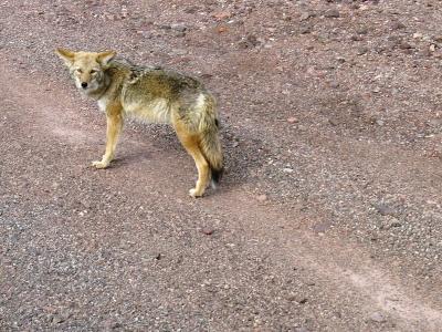 Kojote am Wegrand