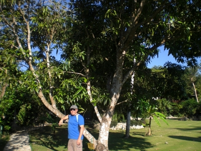 Ein Mangobaum.jpg