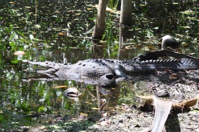 Noch ein Krokodil