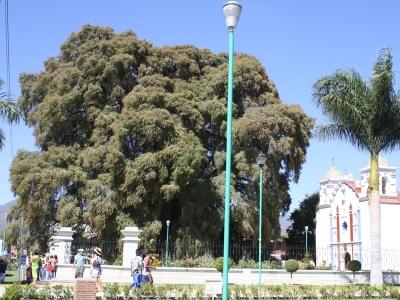 Baum von Tule