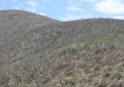 Saguaros überall