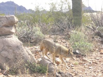 lebender Kojote